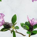 trilogy rose hip oil